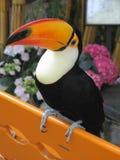 Uccello di Toucan Fotografie Stock Libere da Diritti