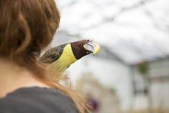 Uccello di Tucan Fotografia Stock Libera da Diritti