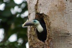 Uccello di Tucano del bambino sul suo primo tentativo di volare Fotografia Stock