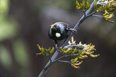 Uccello di Tui Immagini Stock Libere da Diritti