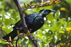 Uccello di Tui che si siede su una pianta del lino Immagine Stock