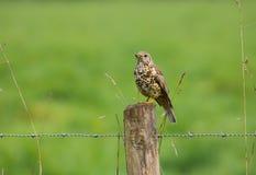 Uccello di viscivorus del Turdus della tordela fotografie stock libere da diritti