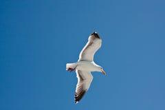 Uccello di volo Fotografie Stock
