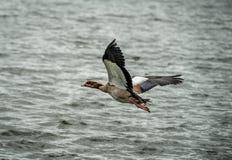 Uccello di volo Fotografie Stock Libere da Diritti