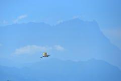 Uccello di volo con fondo della montagna Kinabalu Immagine Stock Libera da Diritti