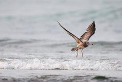 Uccello di volo (gabbiano munito il nero) Fotografia Stock