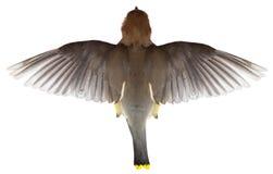 Uccello di volo, vista superiore del volo, ali,  Fotografia Stock Libera da Diritti