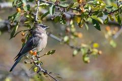 Uccello di Waxwing del cedro fotografie stock