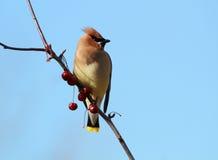 Uccello di Waxwing del cedro Fotografia Stock Libera da Diritti