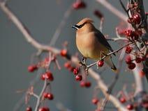 Uccello di Waxwing del cedro Fotografia Stock