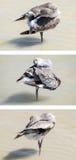 Uccello di Willet che governa sulla spiaggia immagine stock libera da diritti