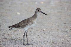 Uccello di Willet sulla spiaggia Fotografia Stock Libera da Diritti
