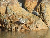 Uccello di Willet sulle rocce al parco della spiaggia di Goleta, California Fotografia Stock Libera da Diritti