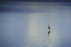 Uccello a Ding Darling Nature Preserve Immagine Stock Libera da Diritti