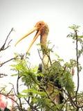 Uccello dipinto della cicogna, leucocephala di Mycteria su un albero con il becco aperto fotografia stock