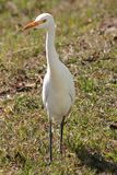 Uccello diritto Fotografia Stock