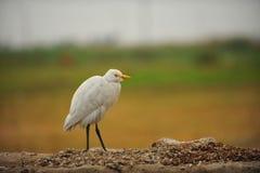 Uccello diritto Fotografie Stock