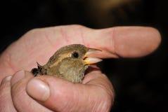 Uccello a disposizione Fotografia Stock Libera da Diritti