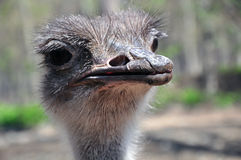 Uccello divertente dello struzzo di sguardo Fotografie Stock