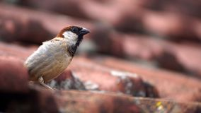 Uccello domestico su un tetto immagine stock