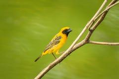 Uccello dorato asiatico del tessitore Fotografia Stock