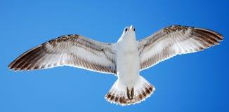 Uccello durante il volo Fotografia Stock Libera da Diritti