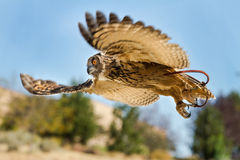 Uccello durante il volo sulla caccia Fotografia Stock