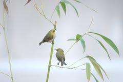 Uccello e bambù fotografia stock libera da diritti