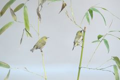 Uccello e bamb? fotografia stock