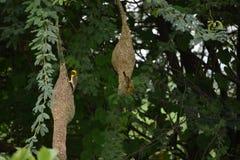 Uccello e nido Fotografia Stock