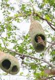 Uccello e nido del tessitore immagine stock