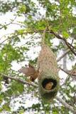 Uccello e nido del tessitore immagini stock
