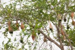 Uccello e nido del tessitore Fotografia Stock