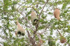 Uccello e nido del tessitore fotografia stock libera da diritti