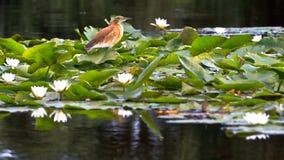 Uccello e ninfee fotografia stock libera da diritti