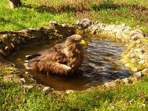Uccello Eagle immagine stock