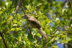 Uccello eared di Bulbul della striscia sull'albero Fotografie Stock Libere da Diritti