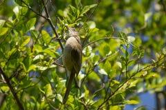 Uccello eared di Bulbul della striscia sull'albero Fotografie Stock