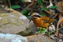 Uccello Eared di Pitta Fotografia Stock