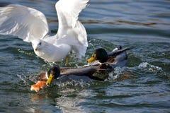 Uccello ed anatre Fotografia Stock