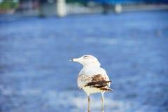 Uccello ed il fiume St Johns Immagine Stock