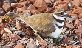 Uccello ed uova fotografia stock