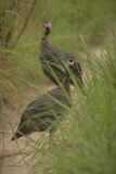 Uccello in erba nel Perù Fotografia Stock Libera da Diritti