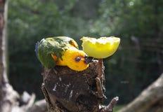 Uccello esotico del pappagallo immagine stock libera da diritti