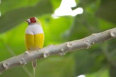 Uccello esotico Gouldian Finche Fotografie Stock