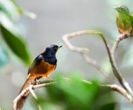Uccello esotico - shama bianco--rumped Fotografia Stock
