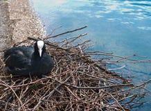 Uccello euroasiatico della folaga, atra del Fulica Fotografia Stock Libera da Diritti
