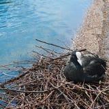 Uccello euroasiatico della folaga, atra del Fulica Immagini Stock Libere da Diritti