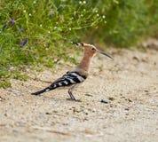 Uccello europeo dell'upupa Fotografia Stock Libera da Diritti