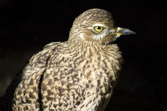 Uccello eyed colore giallo Fotografie Stock Libere da Diritti